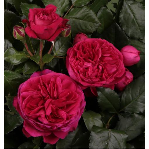 Роза Marietta (Мариетта)