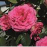 Роза Maritim (Маритим)