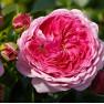 Роза Modern Art (Модерн Арт)