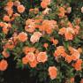 Роза Ninetta (Нинетта)