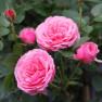 Роза Pink Babyflor (Пинк Бебифлор)