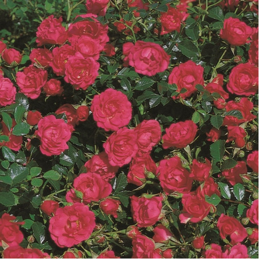 Роза Rody (Роди)