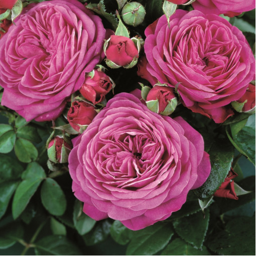 Роза Heidi Klum Rose ( Хайди Клум Розе)
