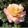 Роза Aquarell (Акварель)