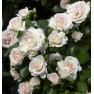 Роза Aspirin-Rose (Аспирин-Розе)