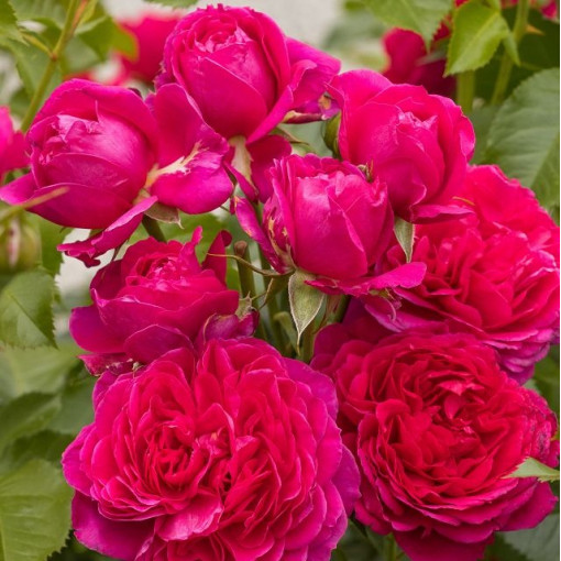 Роза Soul (Соул)