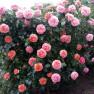 Роза Chippendale (Чиппендейл)