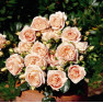 Роза Marie Antoinette (Мария Антуанетта)