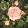Роза Pastella (Пастелла)