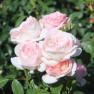 Роза Voyage (Вояж)