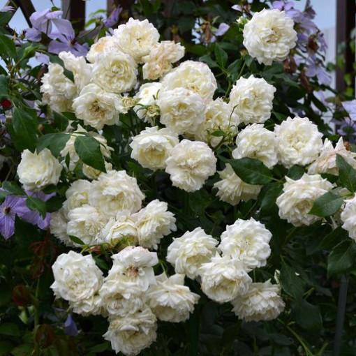 Роза Alaska (Аляска )
