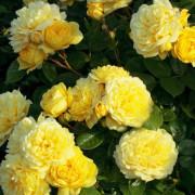 Розы Topalovic
