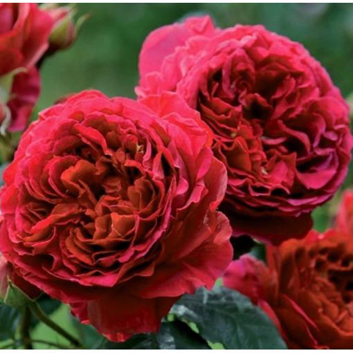 Роза Feuerland (Фоерланд)