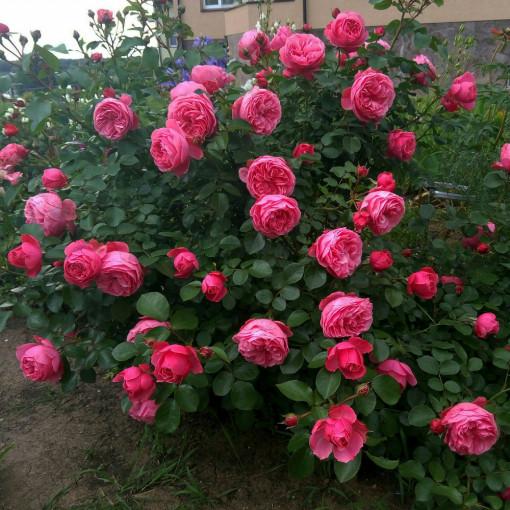 Роза Leonardo da Vinci (Леонардо да Винчи)