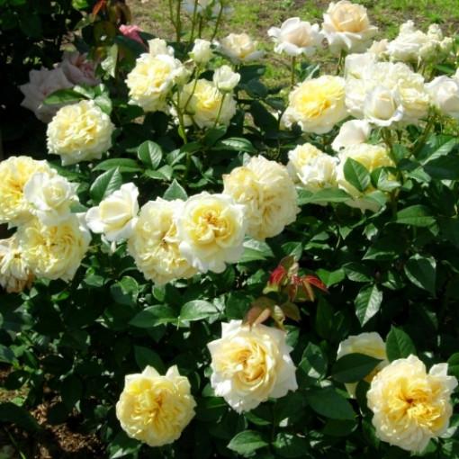 Роза My Girl (Май Герл)