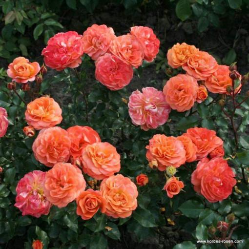 Роза Orangerie (Оронжери)
