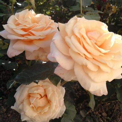 Роза  Paul Ricard (Поль Рикар)