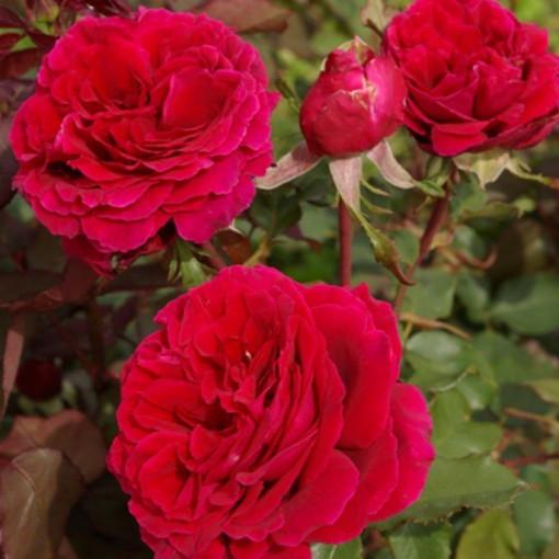 Роза Velvet Fragrance (Вельвет Фрагранс)