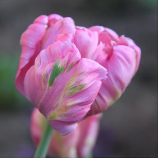 Тюльпан Бритт (Упаковка 10 шт.)