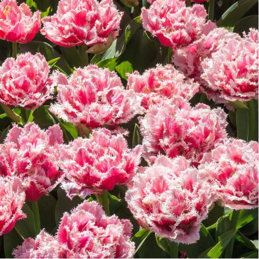 Тюльпан Куинсленд (упаковка 8 шт.)