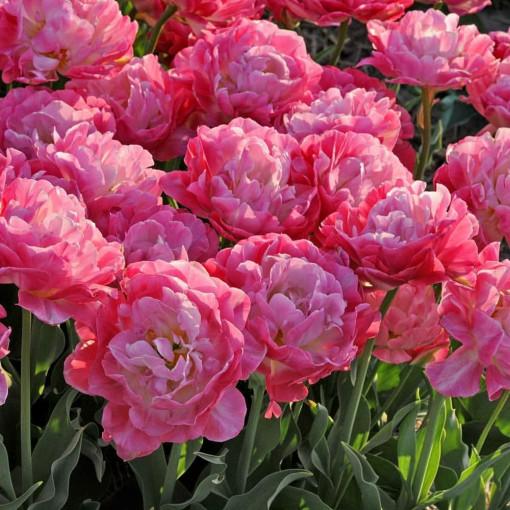 Тюльпан Дабл Шугар (упаковка 8 шт.)