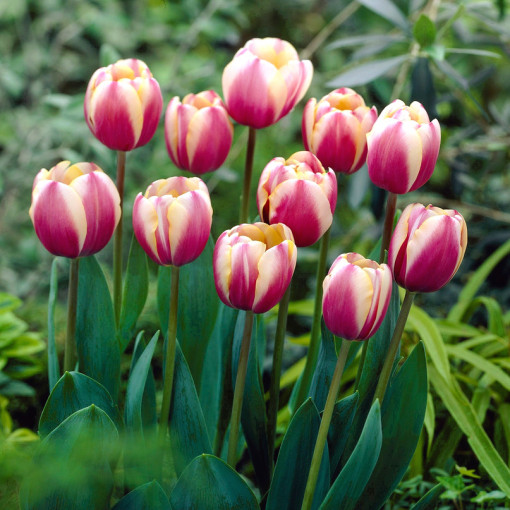 Тюльпан Атлантис (упаковка 10 шт.)