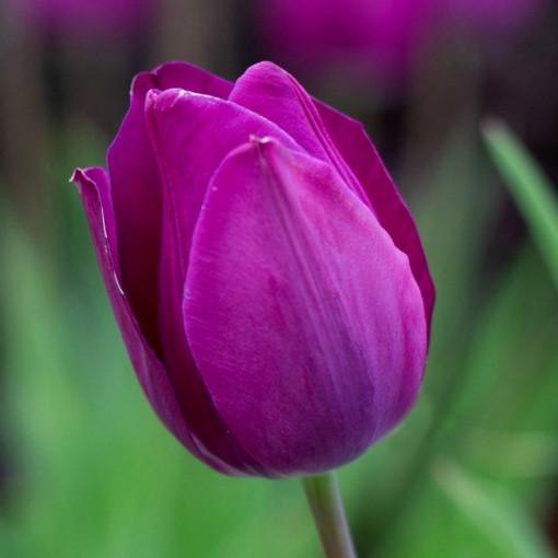 Тюльпан Блю Бьюти (упаковка 10 шт.)