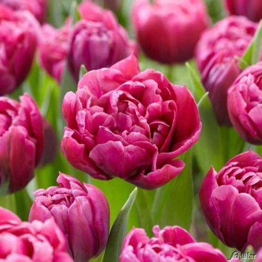 Тюльпан Маргарита (упаковка 8 шт.)