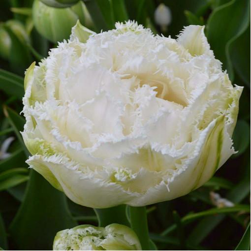 Тюльпан Сноу Кристал (упаковка 10 шт.)