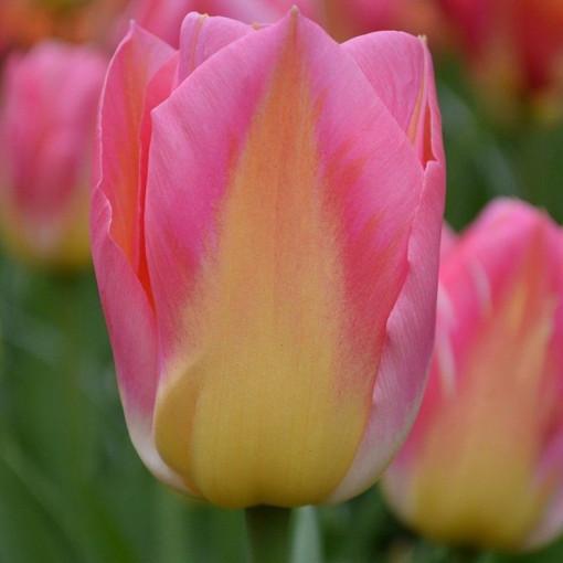 Тюльпан Том Пус  (Упаковка 10 шт.)