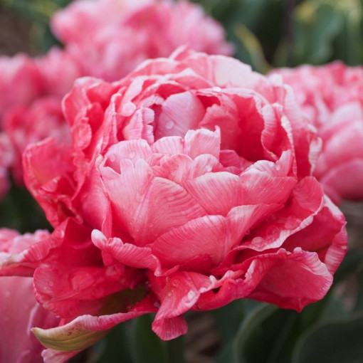 Тюльпан Свит Эми (махровый) (Упаковка 7 шт.)