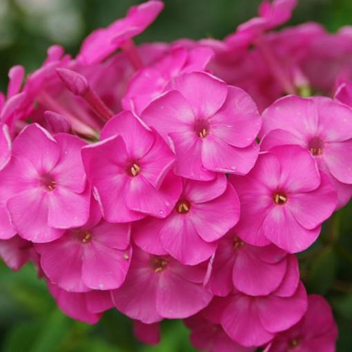 Флокс метельчатый розовый Пинк