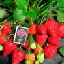 Земляника садовая Альбион (5 шт)