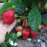 Земляника садовая Королева Елизавета  (5 шт)