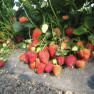 Земляника садовая Сан Андреас (5 шт)