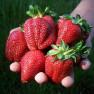 Земляника садовая Сельва (5 шт)