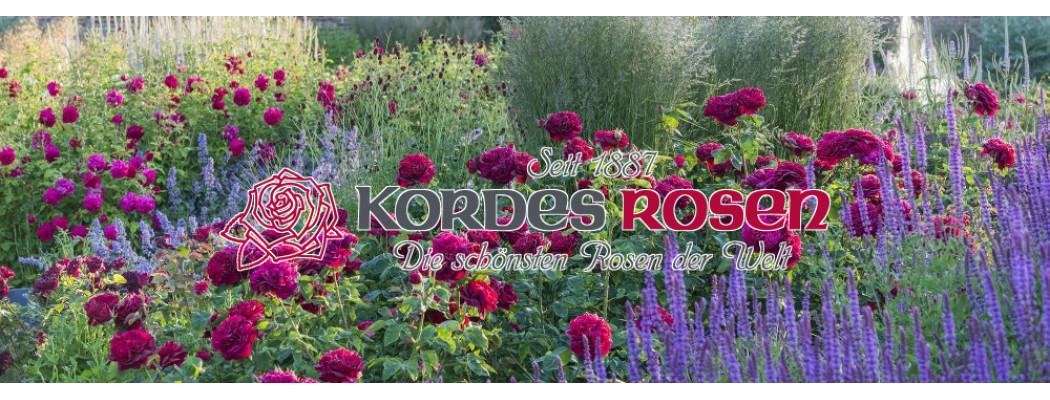 Розы Кордесс