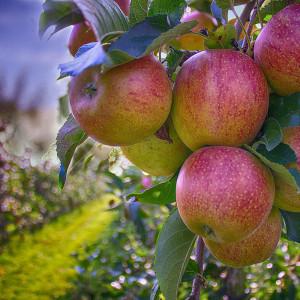 Плодовые деревья (Осень 2021)