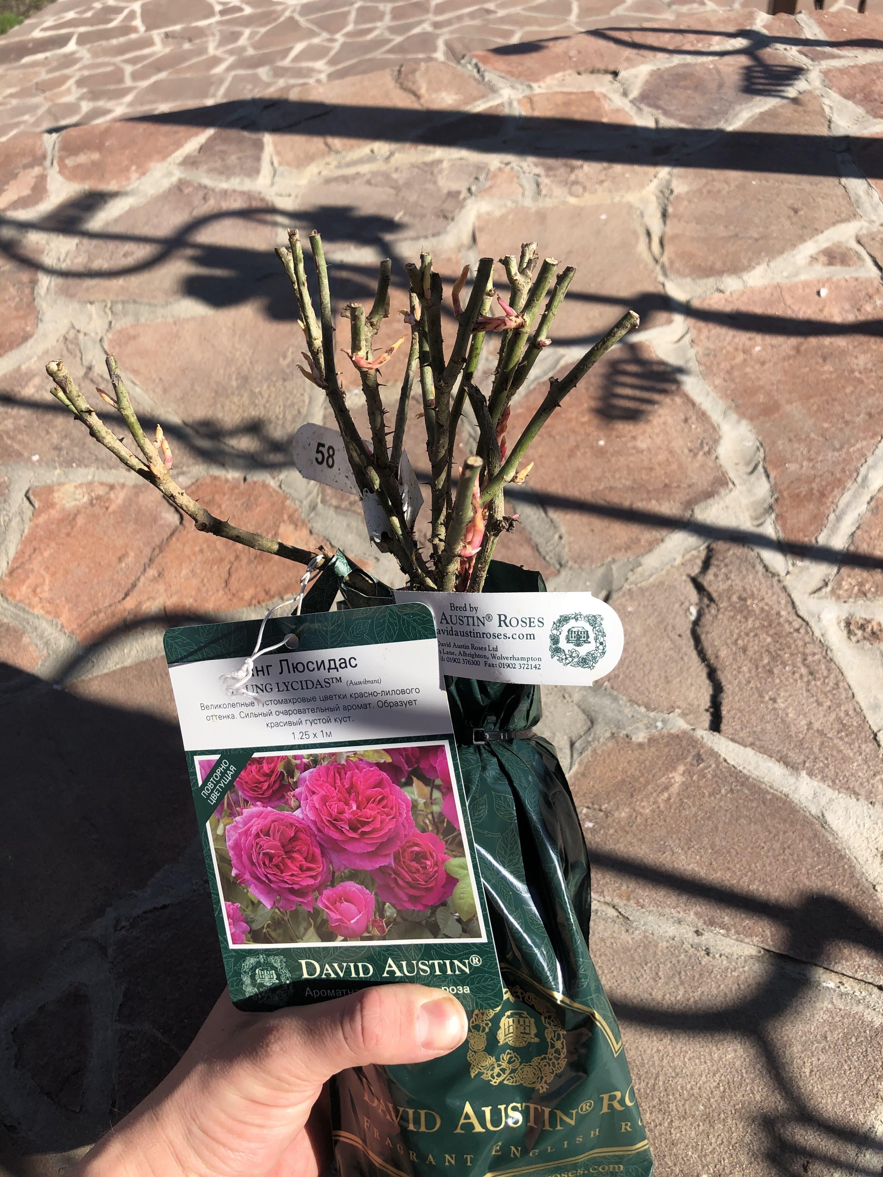 Розы David Austin из Англии